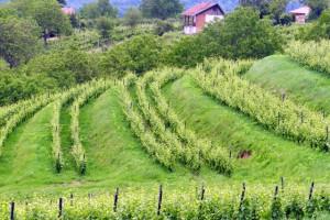 Terasasti vinogradi na Požeškoj gori